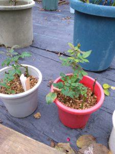 バラ挿し木方法