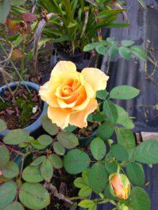 バラの苗の選び方