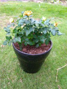 バラの鉢植えの育て方
