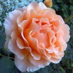 バラの鉢植えの育て方、初心者でもかんたん初めの一歩!