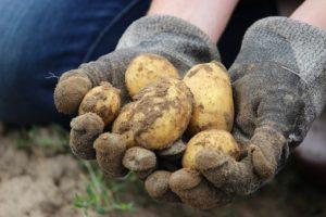 ジャガイモの植え付け方法