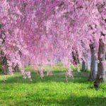 日中線のしだれ桜は喜多方のおススメスポット!3キロの桜並木道!