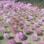 桜峠は裏磐梯の絶景スポット!桜まつりの場所や日程にアクセスは?