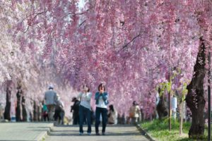 日中線のしだれ桜並木