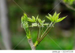 コシアブラの木の見分け方