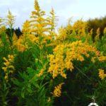 ブタクサの画像とセイダカアワダチソウを比較!秋の花粉症の原因は?