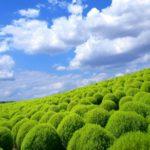 【コキアの育て方】種まきから鉢植えまで!植え替えで枯れない方法は?